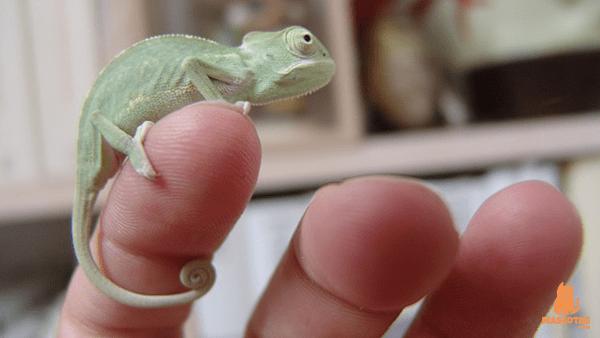 Camaleon bebe