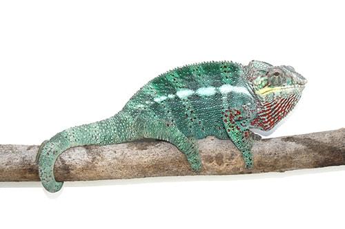 Ejemplar de camaleón pantera sobre una rama