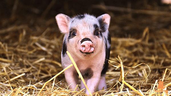 Cerdo bebe