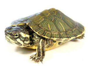 Ejemplar de tortuga de Cumberland