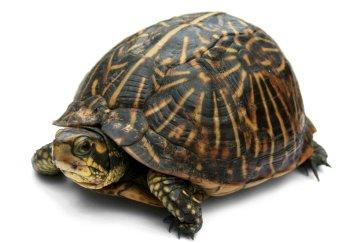 Ejemplar de tortuga de caja