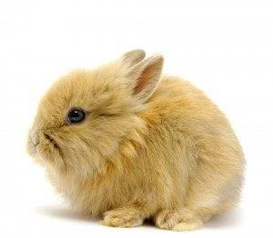 Conejo enano o conejo toy marrón