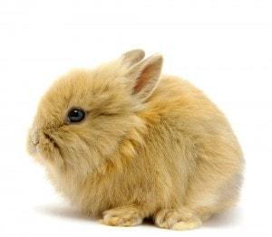 Conejo enano o conejo toy