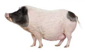 Ejemplar de cerdo gottingen