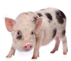 Cerdo juliana pequeño