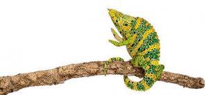 Ejemplar de camaleón de Meller o tiroceros melleri sobre una rama