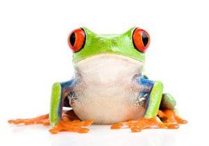 Ejemplar de rana de ojos rojos