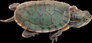 Ejemplar de tortuga de orejas rojas o tortuga de Florida