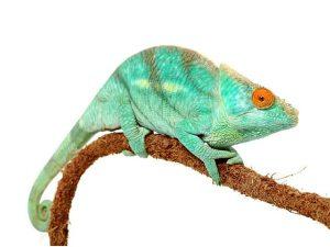 Camaleón parson