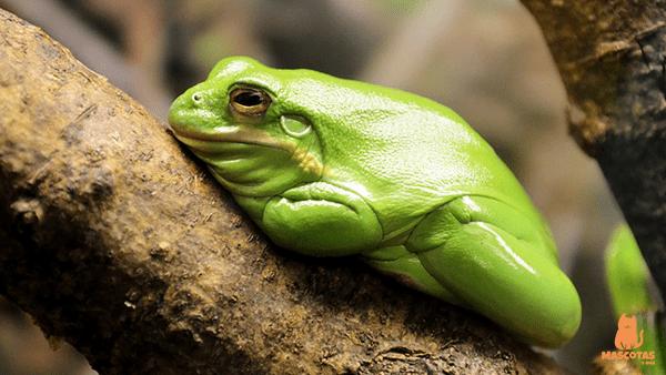 Rana arboricola