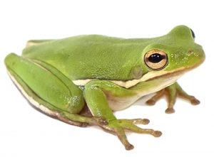 Ejemplar de rana verde arborícola australiana