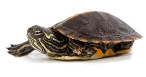 Ejemplar de tortuga de orejas amarillas