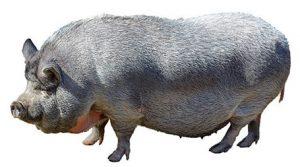 Ejemplar de cerdo vietnamita adulto