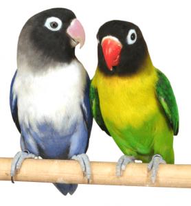 Pareja de agapornis personatus o enmascarado, uno azul y blanco y otro verde y amarillo