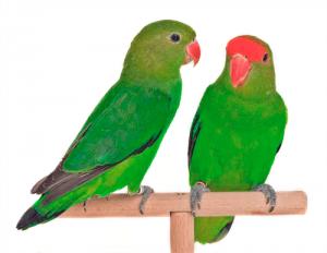 Pareja de agapornis taranta, de abisinia o de frente roja, un macho y una hembra