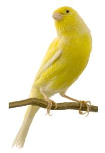 Canario americano