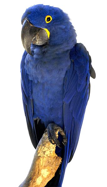 Guacamayo azul o guacamayo Jacinto