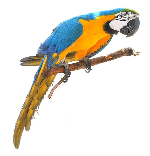 Guacamayo azul y amarillo o ara ararauna