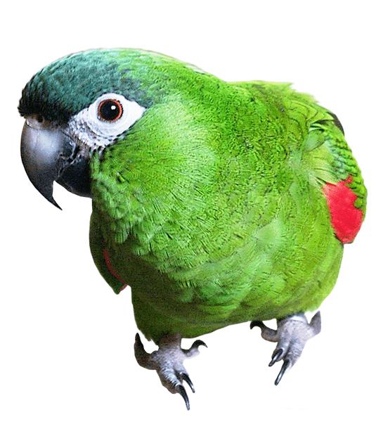 Guacamayo noble o guacamayo de Hahn