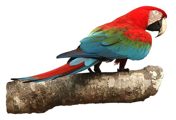 Guacamayo rojo o ara chloropterus