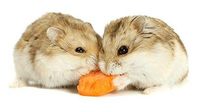 Dos hámsters enanos de Campbell comiendo un trozo de zanahoria