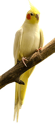 Hembra de cacatúa ninfa, carolina o cocotilla sobre una rama