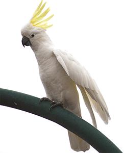 Cacatúa galerita o de moño amarillo