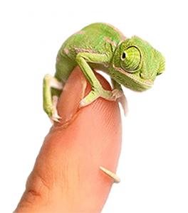 Cría de camaleón de Yemen o camaleón velado sobre un dedo humano, camaleón bebé