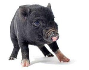 Cerdo vietnamita bebé