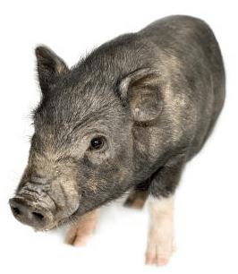 Cerdo vietnamita pequeño