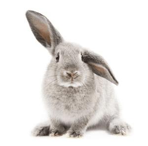 Conejo belier gris