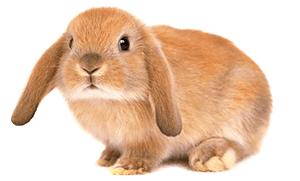 Conejo belier marrón