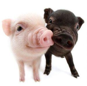 Pareja de mini cerdos bebés, uno rosado y otro oscuro