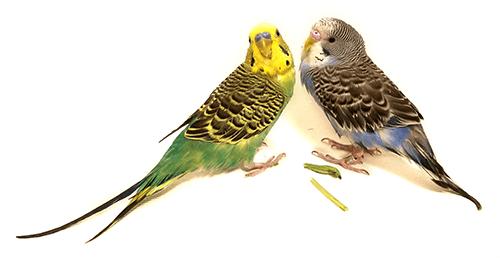 Pareja de periquitos, uno verde y el otro azul
