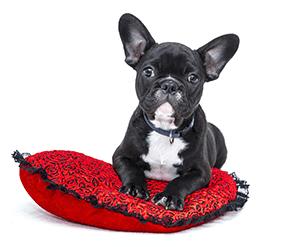 Perro de la raza Bulldog francés sobre un cojín