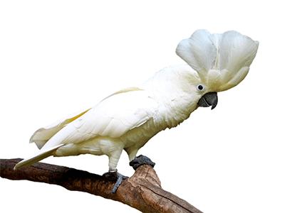 Ejemplar de cacatúa alba o cacatúa blanca sobre una rama