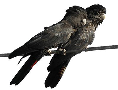 Pareja de cacatúas colirroja sobre una rama, un macho y una hembra