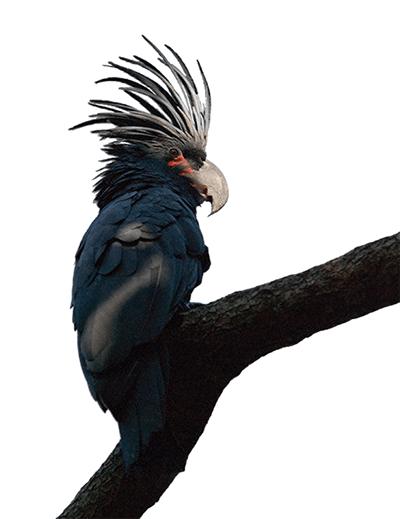 Ejemplar de cacatúa enlutada sobre una rama
