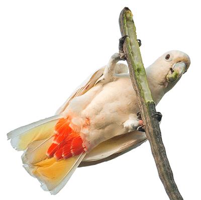 Ejemplar de cacatúa filipina sobre una rama