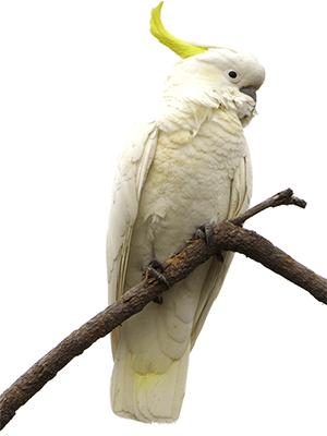 Ejemplar de cacatúa galerita sobre una rama