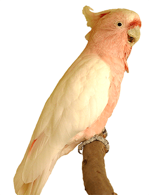 Ejemplar de cacatúa inca o cacatúa abanderada sobre una rama