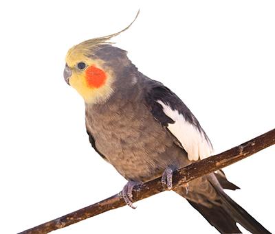 Ejemplar de cacatúa ninfa, carolina o cocotilla sobre una rama, es un macho