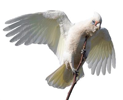 Ejemplar de cacatúa sanguínea sobre una rama y con las alas desplegadas