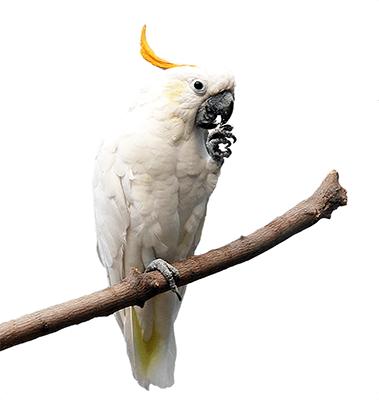Ejemplar de cacatúa sulfúrea sobre una rama