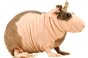 Cobaya skinny bicolor