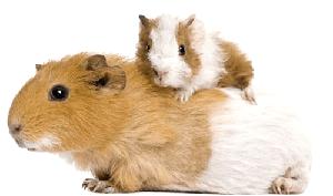 Cobaya mamá y cobaya bebé de pelo corto bicolor
