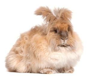Conejo de angora marrón