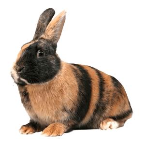 Conejo arlequín marrón y negro
