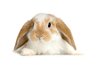 Conejo belier enano blanco y marrón