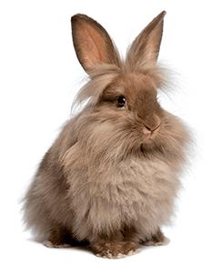 Conejo cabeza de león de color marrón